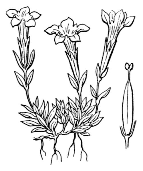 Gentiana verna subsp. delphinensis (Beauverd) H.Kunze - illustration de coste