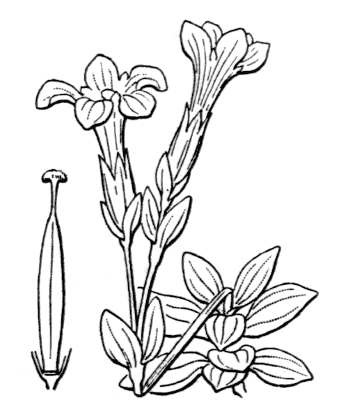 Gentiana verna L. [1753] - illustration de coste