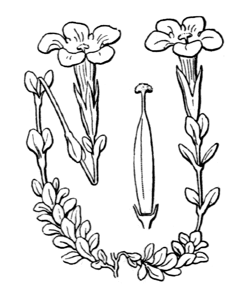Gentiana bavarica L. - illustration de coste