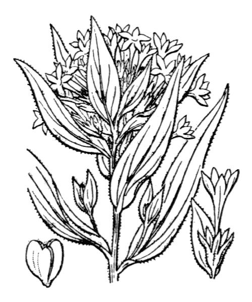 Collomia grandiflora Douglas ex Lindl. - illustration de coste
