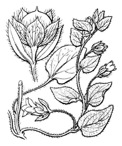 Convolvulus siculus L. - illustration de coste