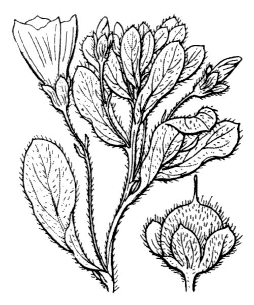 Convolvulus tricolor L. - illustration de coste
