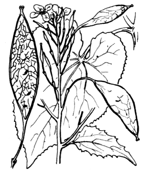 Lunaria rediviva L. - illustration de coste