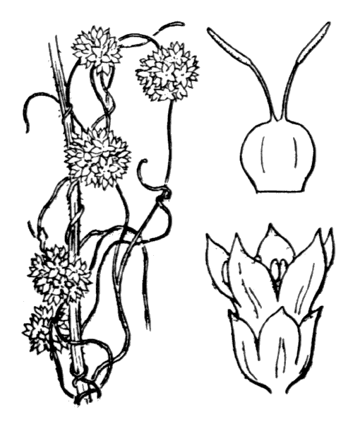 Cuscuta epithymum (L.) L. - illustration de coste