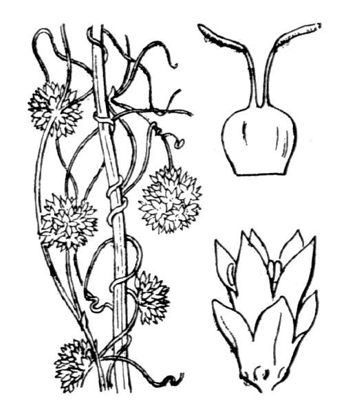 Cuscuta epithymum (L.) L. subsp. epithymum - illustration de coste