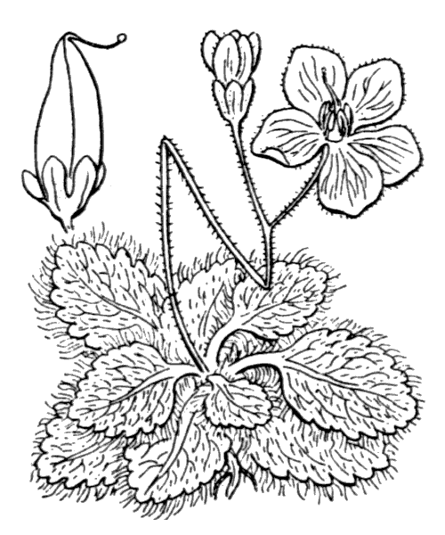 Ramonda myconi (L.) Rchb. - illustration de coste