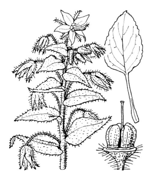 Borago officinalis L. [1753] - illustration de coste
