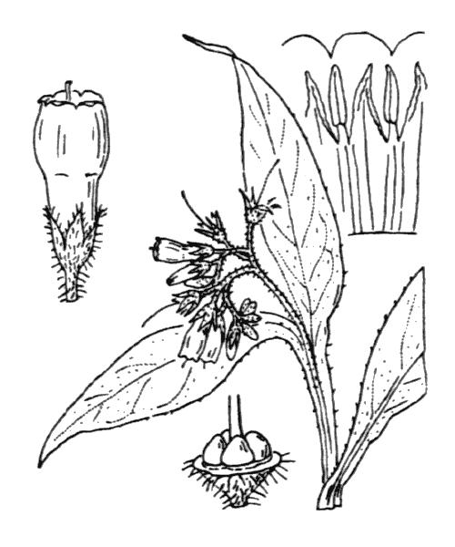 Symphytum officinale L. - illustration de coste