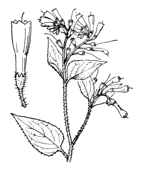 Symphytum orientale L. - illustration de coste