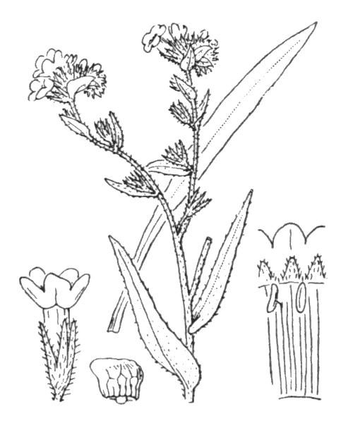 Anchusa officinalis L. - illustration de coste