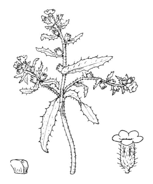 Anchusa crispa Viv. - illustration de coste
