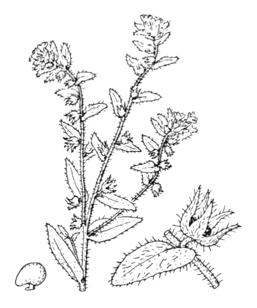 Alkanna lutea Moris - illustration de coste