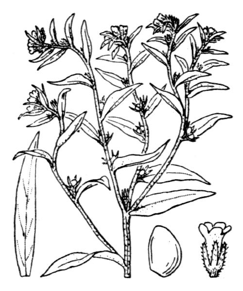 Lithospermum officinale L. - illustration de coste