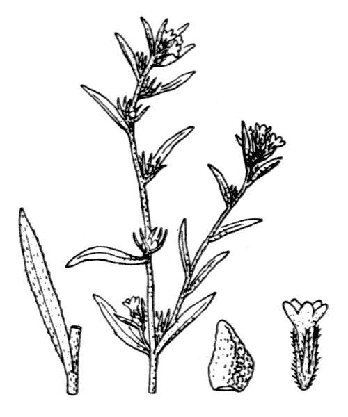 Buglossoides arvensis (L.) I.M.Johnst. - illustration de coste