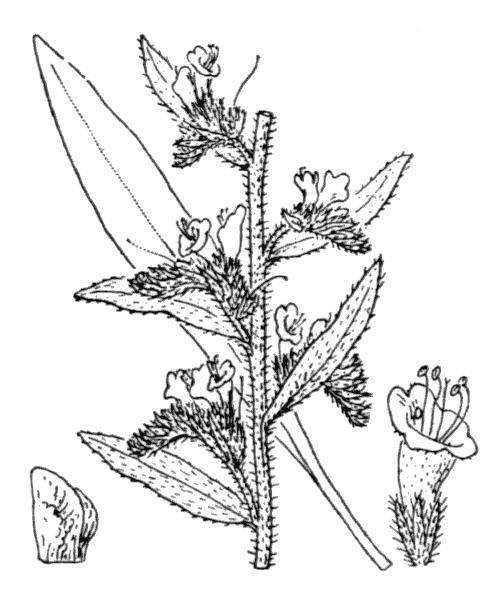Echium vulgare L. - illustration de coste
