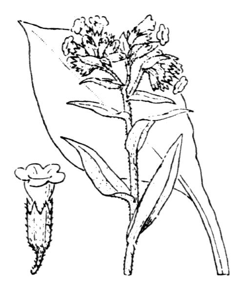 Pulmonaria x ovalis Bastard - illustration de coste