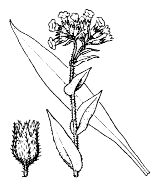 Pulmonaria longifolia (Bastard) Boreau - illustration de coste