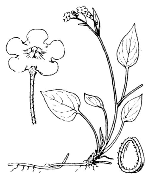 Omphalodes verna Moench - illustration de coste