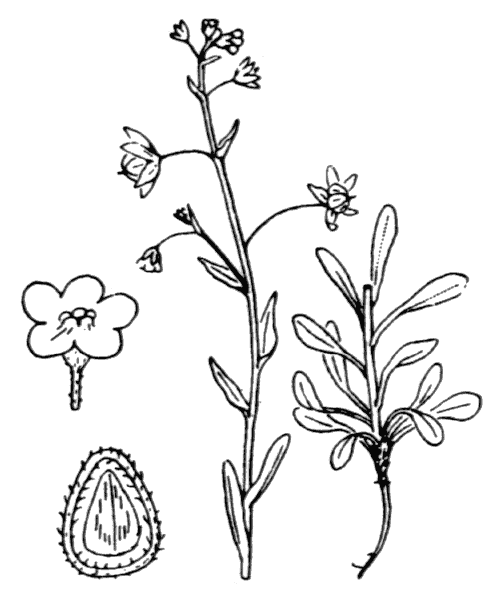 Omphalodes littoralis Lehm. [1818] - illustration de coste
