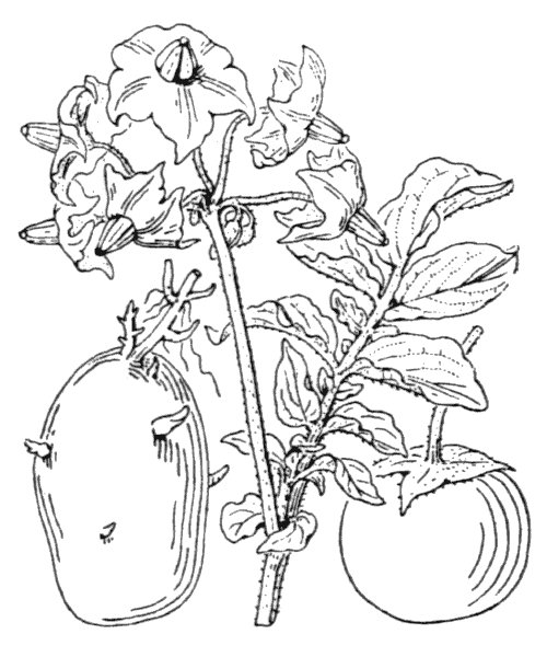 Solanum tuberosum L. - illustration de coste