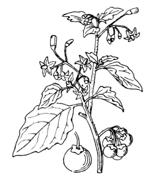 Solanum nigrum L. - illustration de coste