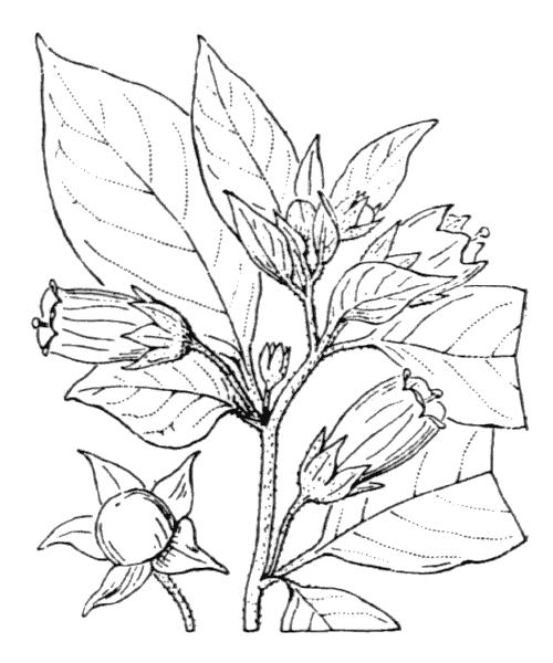 Atropa belladonna L. - illustration de coste