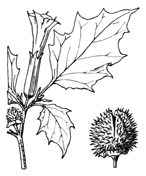 Datura stramonium L. - illustration de coste