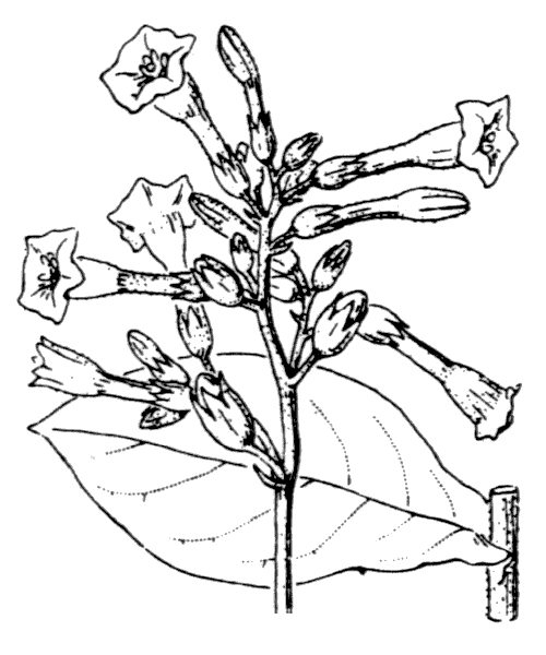 Nicotiana tabacum L. - illustration de coste