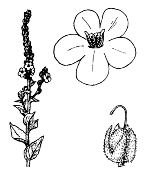 Verbascum phlomoides L. - illustration de coste