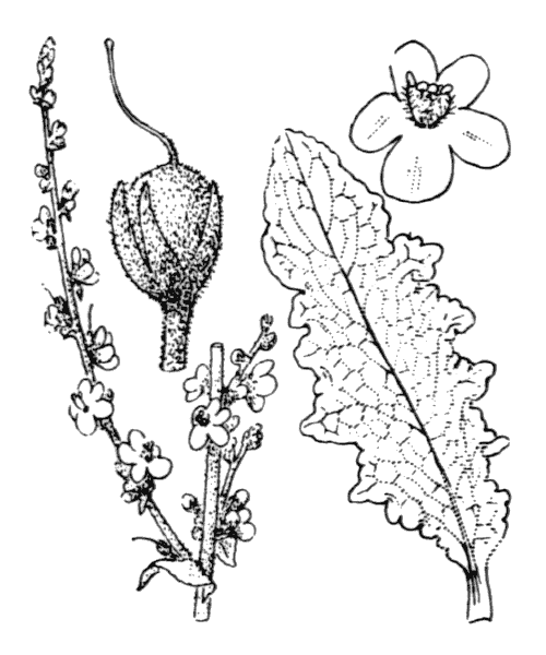 Verbascum sinuatum L. [1753] - illustration de coste