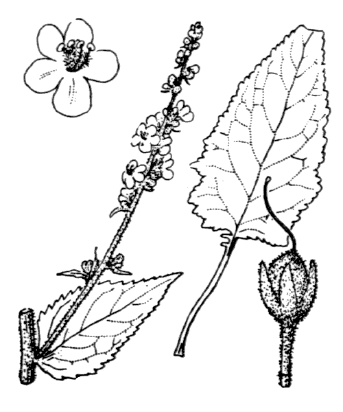 Verbascum chaixii Vill. [1779] - illustration de coste
