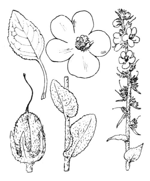 Verbascum boerhavii L. [1767] - illustration de coste