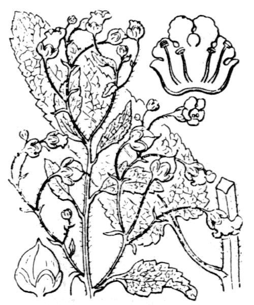 Scrophularia scorodonia L. - illustration de coste