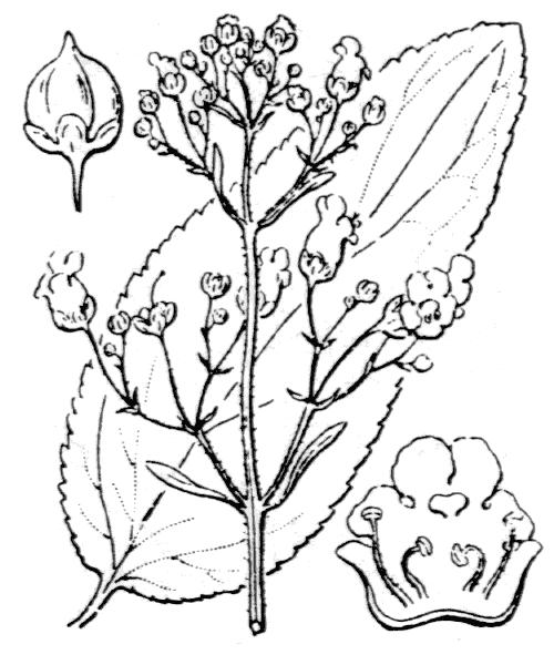 Scrophularia alpestris J.Gay ex Benth. - illustration de coste