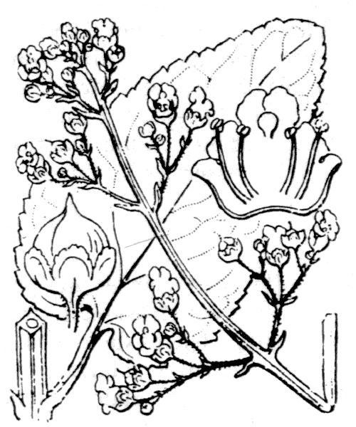 Scrophularia oblongifolia subsp. umbrosa (Dumort.) Gamisans - illustration de coste