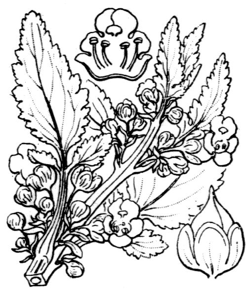 Scrophularia trifoliata L. - illustration de coste