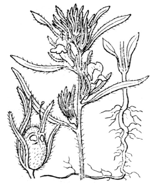 Misopates orontium (L.) Raf. [1840] - illustration de coste