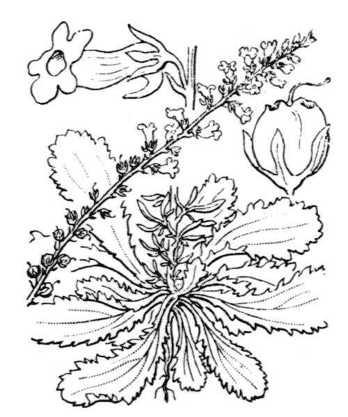 Anarrhinum bellidifolium (L.) Willd. - illustration de coste
