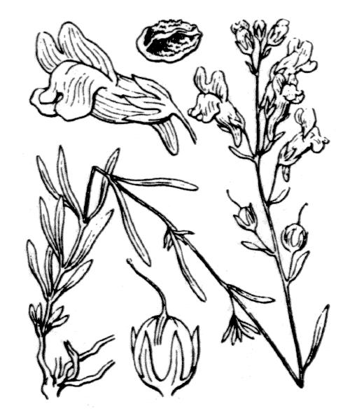 Linaria repens (L.) Mill. var. repens - illustration de coste