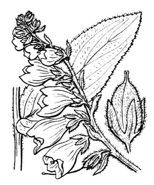 Digitalis grandiflora Mill. [1768] - illustration de coste