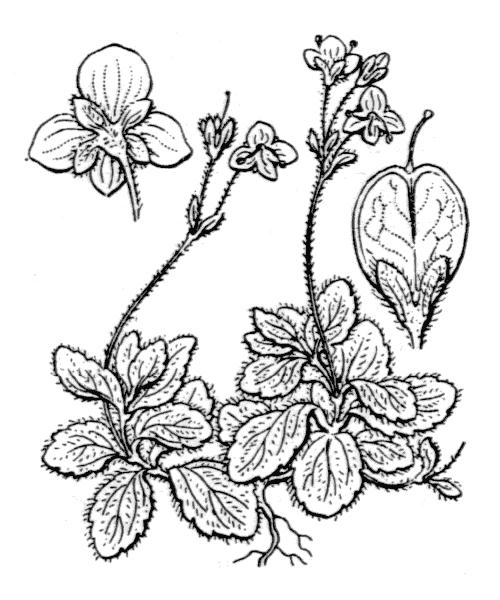 Veronica aphylla L. - illustration de coste