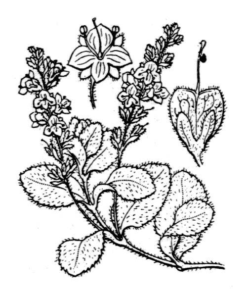 Veronica officinalis L. - illustration de coste