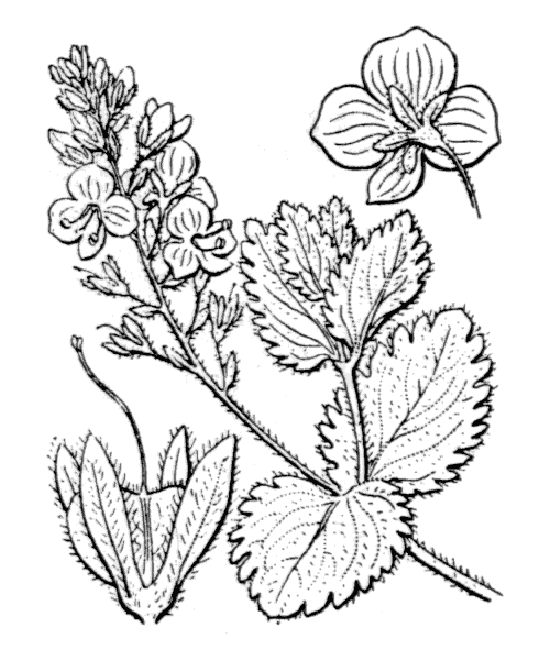 Veronica chamaedrys L. - illustration de coste