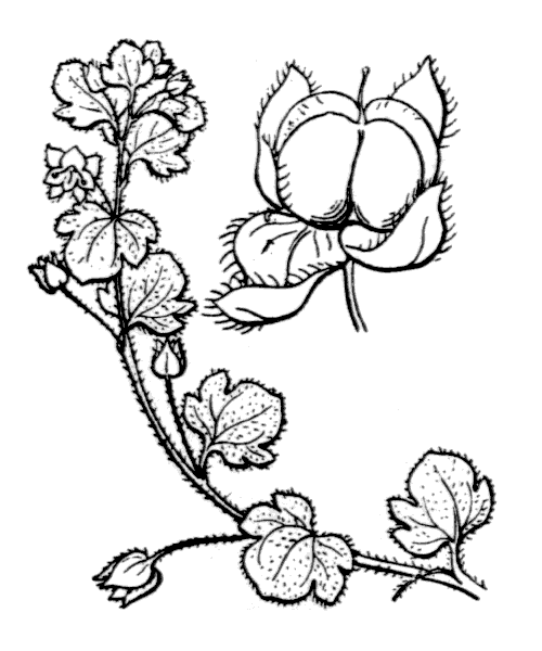 Veronica hederifolia L. - illustration de coste