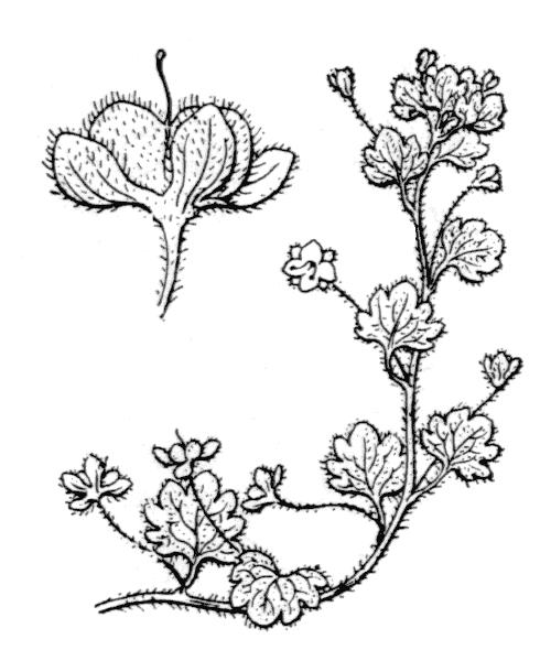 Veronica cymbalaria Bodard - illustration de coste