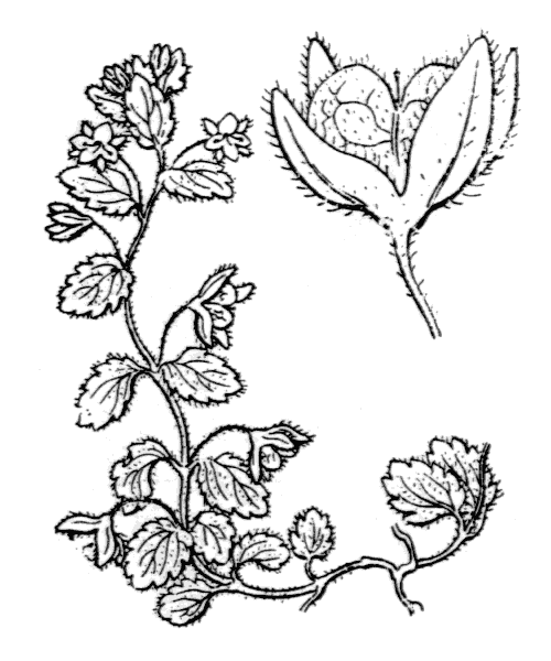 Veronica agrestis L. - illustration de coste