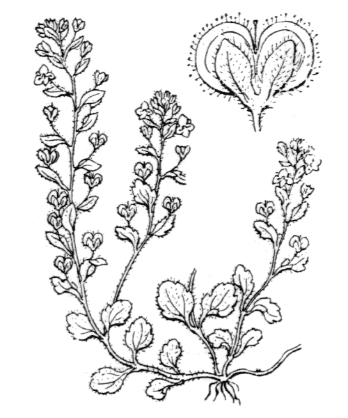 Veronica acinifolia L. - illustration de coste