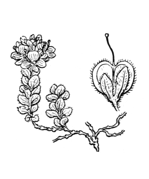 Veronica nummularia Gouan - illustration de coste