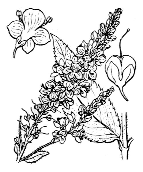 Veronica paniculata L. [1759] - illustration de coste