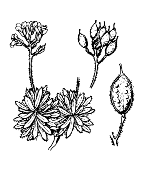Draba loiseleurii Boiss. - illustration de coste